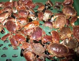 Juvenile crab found on one mussel rope (Image: John Holmyard)