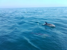 Common dolphins in Lyme Bay