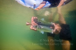 Tagged bass being released in Salcombe.